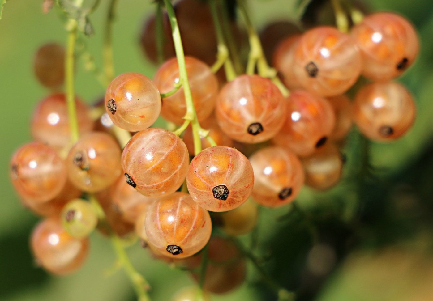 currant berries - fruit of the Spirit